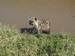 Masai Mara (Laika ac) Tags: masaimara kenya safari hyena spottedhyena africa