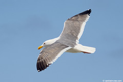 Western Gull, 5cy-type (little-W | Studying gulls) Tags: bird gull westerngull meeuw vogel larus occidentalis larusoccidentalis