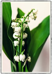 Lily of the Valley (Florent Valentin) Tags: light flower green fleur plante happy spring lily lumire may vert mai lys month muguet printemps lis cloche compact lilyofthevalley clochette rx100