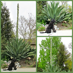 Benni and the Giant Agave (Bennilover) Tags: walking neighborhood growth neighbors labradoodle benni succulents centuryplant agaveamericana