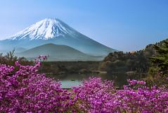 Lake Shojiko - Springtime (NatashaP) Tags: pink mountain lake japan spring fuji 日本 azalea 富士山 fujigoko 山梨 shojiko nikkor2470mm nikond800 fivelakesoffuji