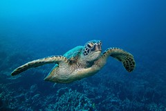 honu/blue (BarryFackler) Tags: ocean life sea nature water ecology animal coral fauna island hawaii polynesia bay marine underwater pacific turtle reptile being dive scuba diving sealife pacificocean tropical marinebiology diver honu bigisland aquatic reef creature seaturtle biology undersea cheloniamydas ecosystem coralreef marinelife vertebrate zoology seacreature greenseaturtle marineecology organism honaunau hawaiicounty southkona hawaiiisland 2013 hawaiiangreenseaturtle honaunaubay marineecosystem westhawaii marinereptile konadiving bigislanddiving hawaiidiving sealifecamera barryfackler barronfackler cmydas