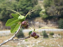 Mycenae '13 (faun070) Tags: fruit greece mycenae vigs mikenes