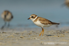 Semi-palmated plover (Ralf Nowak) Tags: