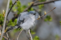 2013 Blue-Gray Gnatcatcher (Explored) (DrLensCap) Tags: bird robert illinois il glencoe kramer skokie bluegray gnatcatcher lagoons mygearandme mygearandmepremium