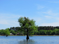 Lowcountry Unfiltered - Lake Marion Ghost Town Paddle - April 2013 (299) (greenkayak73) Tags: friends beagle nature america fun lucy southcarolina adventure kayaking ghosttown mrrussell riverdog lakemarion greenkayak73 randomconnections photopaddling lowcountryunfiltered nitrorev rockscemetery johnatgcc