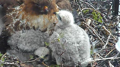 young with BR2 (Cornell Lab of Ornithology) Tags: red bird big university cams cornell redtailedhawk nestlings labofornithology cornelllabofornithology