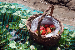 Spring days (Mundo Flo) Tags: countryside spring strawberries agriculture