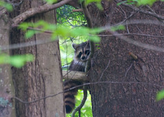 Raccoon in a tree (ian02054) Tags: nikon raccoon d90