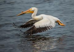 Pelicans 22 (Jan Crites) Tags: bird nature river illinois nikon zoom may sigma pelican mississippiriver hampton waterfowl americanwhitepelican d600 lockanddam14 150500mm