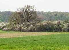 Weidornbsche (Teelicht) Tags: germany deutschland feld hawthorn niedersachsen lowersaxony buschwerk weisdorn olympusomdem5 olympusm75300mmf4867ii