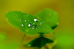 Leaf and Raindrop .. ( Nana) Tags: life light plant green leaf natural taiwan  simple raindrop taiwan