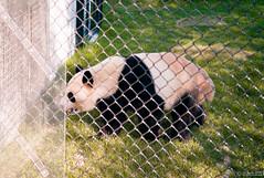I am a Panda and I am hungry (Sacha 2D) Tags: leica toronto ontario canada animals zoo panda pandas torontozoo leicam8 leicaelmarm50mmf28 lensblr photographersontumblr sacha2d
