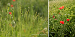 Poppies (milolina) Tags: me2youphotographylevel1