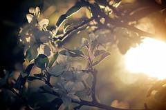 Light Flower (Kristijonas Dirse) Tags: park flowers sun london st backlight james golden evening blossom stock hour blooming