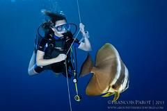 Safety Stop's Friend (Around The Blue World) Tags: blue sea fish water nikon underwater marin under diving tokina diver maldives poisson plonge 1017 batfish d300 maldivian plongeur platax