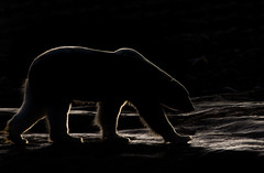 An early morning with The Boss of The Arctic...(Explored, my 149th) (Pewald) Tags: