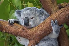 Koala-t visit to Riverbanks Zoo (ucumari photography) Tags: sc zoo october south columbia koala carolina marsupial riverbanks 2013 6984 specanimal ucumariphotography