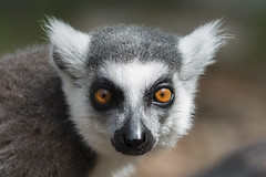 Ring-taled Lemur (Trine K Photography) Tags: blue red summer portrait white detail macro green art nature animal animals norway closeup contrast cat canon sweden hiking wildlife lanscape wildlifephotographer naturecloseup canonef70200mmf28lusm wildlifephotography animalcloseup canon70d trinek trinekphotography