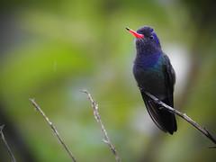 Hylocharis cyanus (Aisse Gaertner) Tags: brazil bird birds brasil nikon hummingbird ngc p900 coolpix brazilian birdwatching birdwatcher hylochariscyanus blinkagain