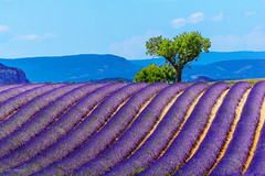 Landscape and lavender field, France new (Gael F. Photography) Tags: aroma aromatherapy aromatic beautiful beauty bluesky colored cosmetic countryside daylight field fields flower france french hatch horizon july june landscape lavender magenta mauve natural nature outside perfumed picturesque provence purple scent smell summer sunny travel valensole