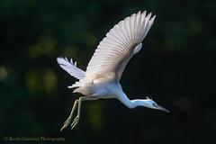 Little Blue Heron (Kevin James54) Tags: canon80d lakegalena peacevalleypark tamron150600mm avian bird buckscounty egrettacaerulea heron juvenile kevingianniniphotocom littleblueheron