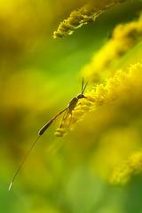 _MG_4300_web (Erik Koffmar) Tags: gasteruptidae yellow greenbug koffmar uppsala norby sweden macro macroflowerlover canon 7d 100mm is