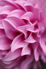 Ripply (ranzino) Tags: kennettsquare longwoodgardens macro pa flower