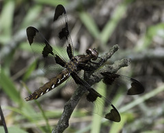 DragonFly_SAF1397 (sara97) Tags: copyright2016saraannefinke dragonfly flyinginsect insect loneelkpark missouri mosquitohawk nature odonata outdoors photobysaraannefinke predator saintlouis