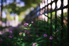 fence friday (~Staci Lee~) Tags: fence fencefriday purple green canon 5diii 35mm 14l