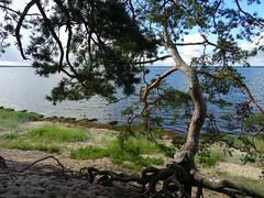 Coastal pine (heiliruutel) Tags: seacoast pine sea