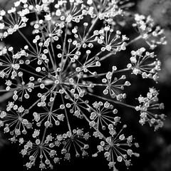 dill (vertblu) Tags: macro makro macromode macromondays flowersinblackandwhite hmm dillblossom bw mono vertblu umbel doubleumbel inflorescence 500x500 bloomingdill herb herbs summer summertime blackwhite simplenature dof bokeh