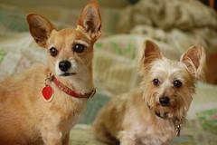 DSC_9657 (ghoulia) Tags: dogs dogvacay rovercom mutts chihuahua yorkie pomeranian