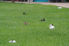 DSC_3410 (mavnjess) Tags: 15 june 2016 vicenza italy italia coniglio coniglios rabbit rabbits bunny bunnies