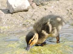 Mallard duckling (deannewildsmith) Tags: earthnaturelife duck