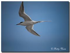 Roseate Tern (Betty Vlasiu) Tags: roseate tern sterna dougallii bird nature wildlife florida stpetersburg