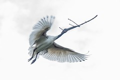 Game of homes (Joep Buijs Photography) Tags: australian white ibis bird wildlife nest building twig wings spreading