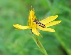 Episyrphus balteatus (liliumregale) Tags: asiago episyrphusbalteatus
