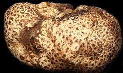 Mushroom 3x Tolland, CT (Macroscopic Solutions) Tags: macro macropod macroscopicsolutions micro macrophotography macroscopic microscope macrography mycology taxonomy:kingdom=fungi fungi taxonomy:phylum=basidiomycota basidiomycota mushroom  hongosdesombrerito basidiomiceti     stnderpilze  taxonomy:common=mushroom taxonomy:common= taxonomy:common=hongosdesombrerito taxonomy:common=basidiomycota taxonomy:common=basidiomiceti taxonomy:common= taxonomy:common= taxonomy:common= taxonomy:common= taxonomy:common=stnderpilze taxonomy:common=