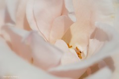 Mittelpunkt der Rosenwelt * Center of the world of the Rose * Centro del mundo de la Rosa * (Makro/Macro)  . _DSC4742-001 (maya.walti HK) Tags: 180916 2016 copyrightbymayawaltihk flickr makro nikond3200 pflanzen plantas plants rosas rosen roses sanft soft suave weiss