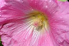 Gartenmalve (DianaFE) Tags: dianafe blüte pflanze blume wiesenblume makro tiefenschärfe schärfentiefe