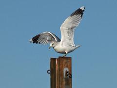 Common Gull (Peanut1371) Tags: commongull gull seagull bird wings nationalgeographicwildlife