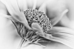 Close up II (hequebaeza) Tags: bw monocromo naturaleza florasilvestre vegetacin flores flowers ptalos petals margarita daisy tubosdeextensin macro 3570mm nikon d5100 nikond5100 hequebaeza