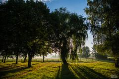 Seul et il pleure (richardrisz) Tags: lumire contrejour levdujour saule feuillage sunrise champs
