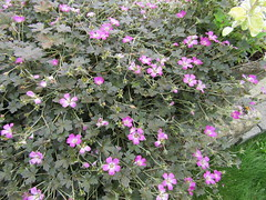 Geranium 'Orkney Cherry' (wallygrom) Tags: england westsussex angmering