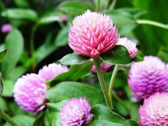 rise (Lovely Pom) Tags: flowers flower rise beauty queen pretty plant pink purple top