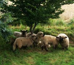 Lauritz's sheep (Jaedde & Sis) Tags: sheep farm r beginnerdigitalphotographychallengewinner bdpc