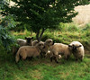 Lauritz's sheep (Jaedde & Sis) Tags: sheep farm ærø beginnerdigitalphotographychallengewinner bdpc