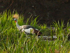 Crowned Crane ! (Mara 1) Tags: bird crowned crane water green leaves outdoors feathers black white face eye