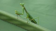 P1010506 (IvanFer99) Tags: mantis religiosa